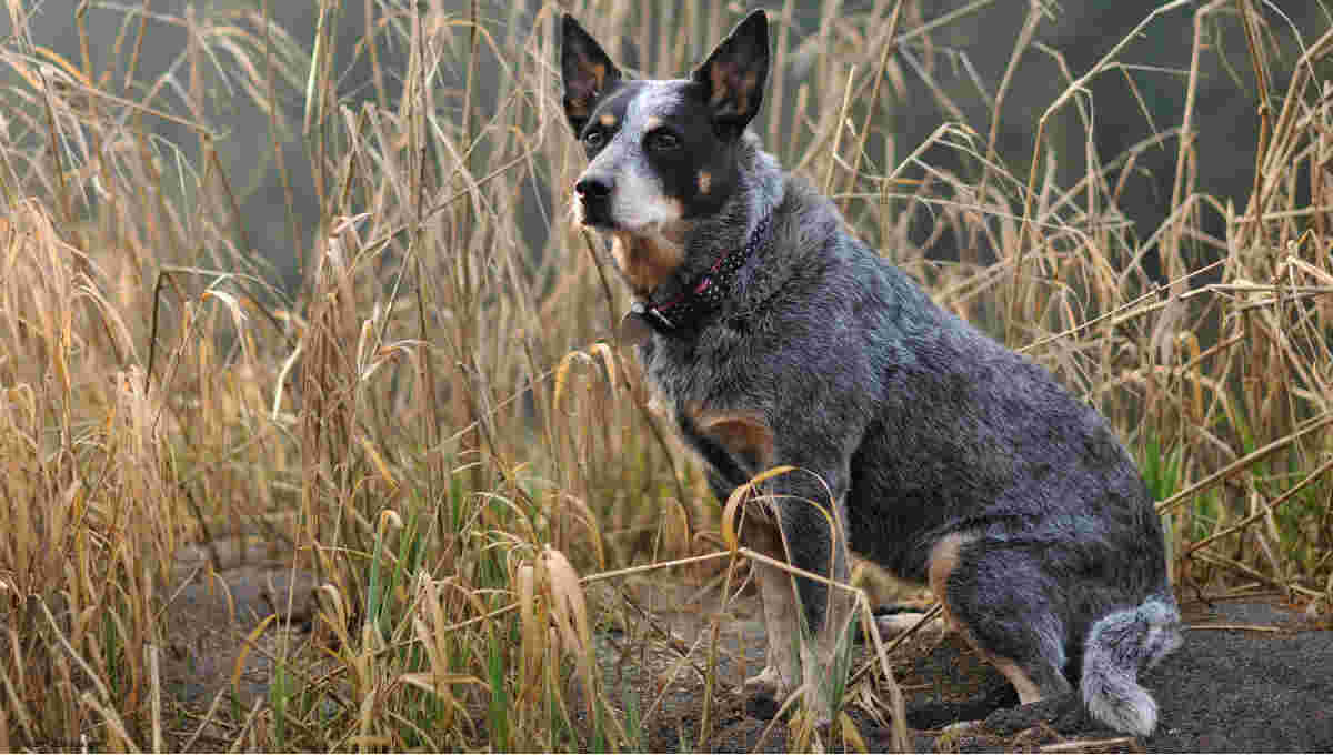 Do Cattle Dogs Bark A Lot