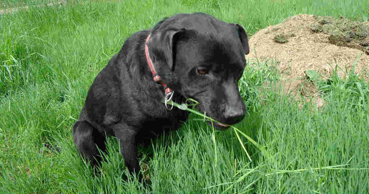 Dog Not Eating Food But Eating Grass