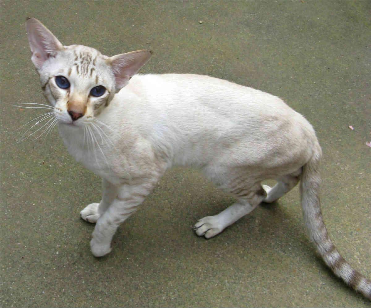 Top 10 cat breeds that live the longest